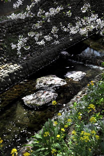 東川櫻と花筏風景