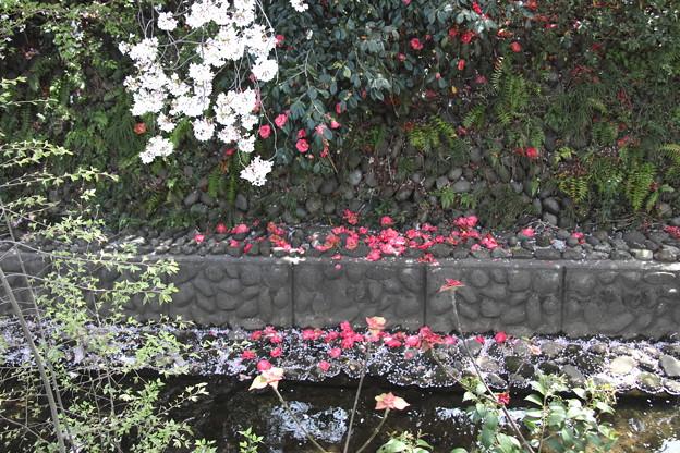 落下した椿の花風景