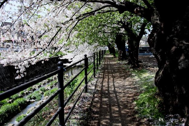 東川の櫻遊歩道