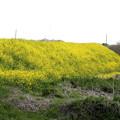 菜の花の荒川土手1
