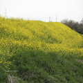 荒川土手の菜の花道