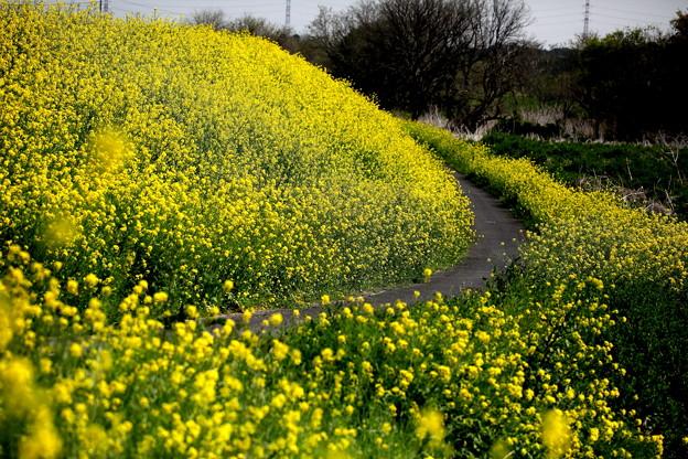 菜の花の道 荒川土手