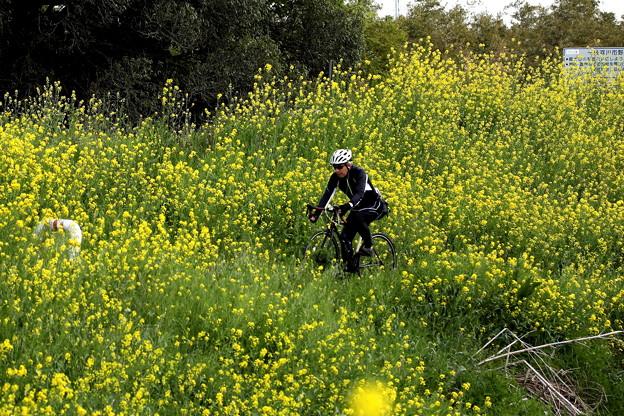 菜の花畑を走るサイクリング