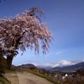 下川田のしだれ桜(沼田市)
