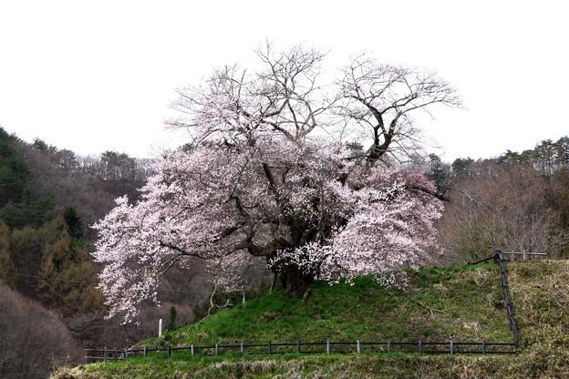発知のしだれ桜