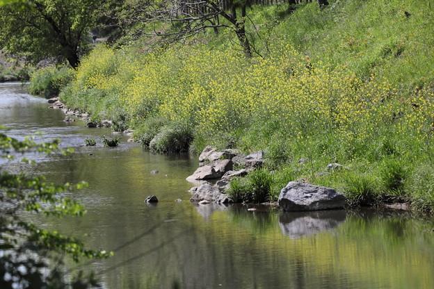 柳瀬川の菜の花