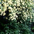 木香バラの開花風景