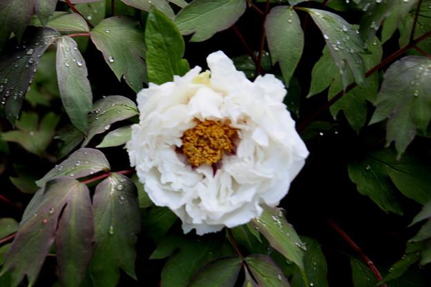 雨上りの白い牡丹2