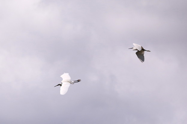 コサギ二羽の飛行