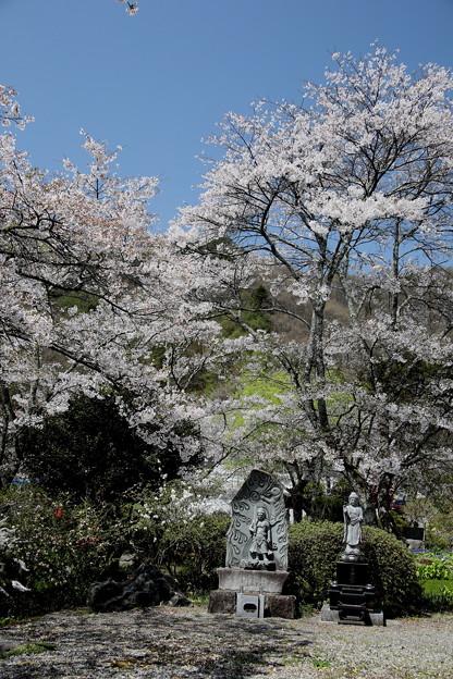 慶福寺 境内の桜