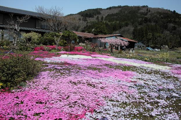 春の彩 芝桜畑