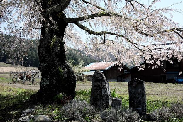 上発知の古木の桜