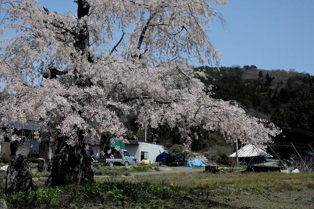 上発知の古木の桜2