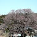 4月20日の天王桜