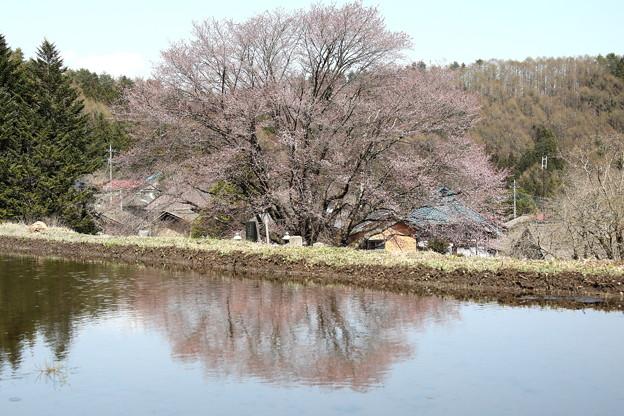 天王桜水面への反映