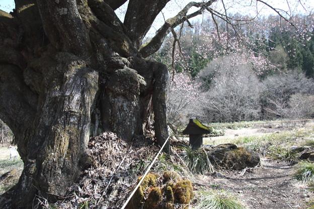 天王桜 咲き始める