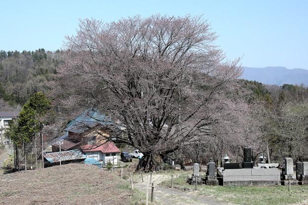 花咲の天王桜の咲き始め