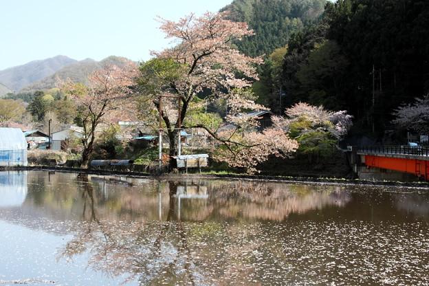 桜水面への反映