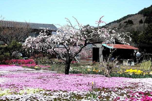 上発地の芝桜