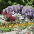 Photos: 花に囲まれ藤の開花風景