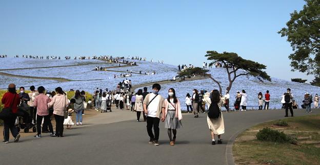 ひたち海浜公園 ネモフィラの丘入口風景