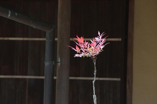 日本庭園 南天の新芽