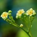 スモークツリーの花