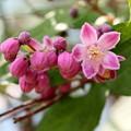 大粒のピンクのウツギ咲き始める