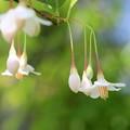 枝垂れエゴが開花