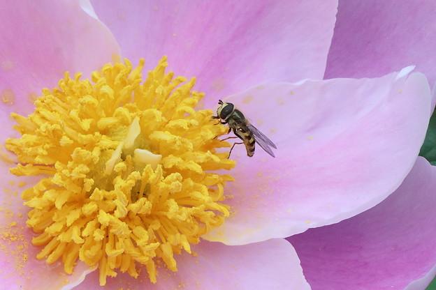芍薬と蜜蜂