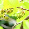 枝垂れ桑の実の枝