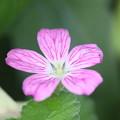 風露草の花