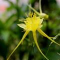 黄色いオダマキの花