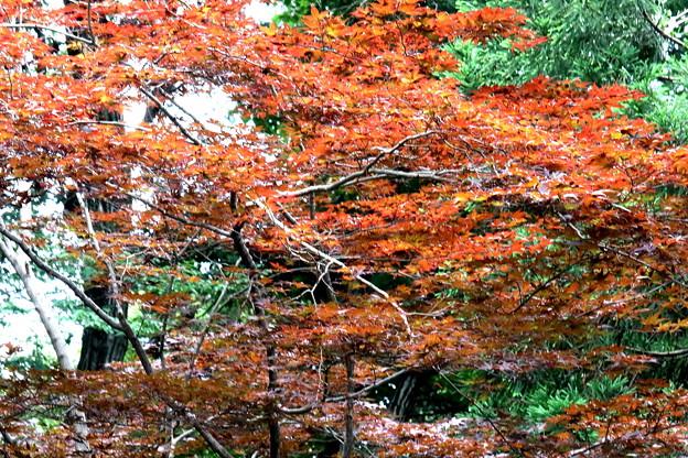 秋? モミジの若葉の色彩