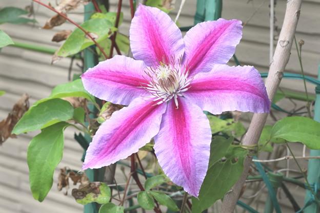 また咲き始めたクレマチス