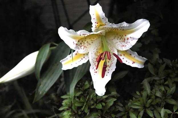 山百合の開花