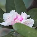 狂い咲き 石楠花