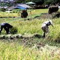 Photos: 稲刈り作業寺坂棚田