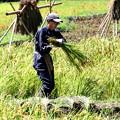 Photos: 稲刈り1