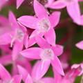 赤系の花 ペンタス