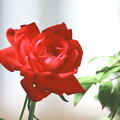 赤い薔薇咲く