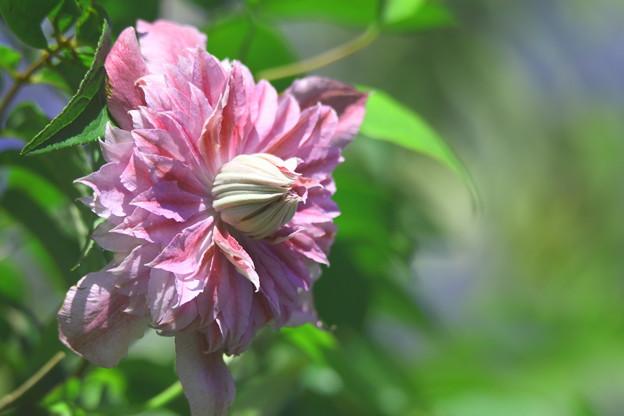 クレマチス狂い咲き