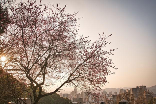 Photos: 墓所の梅