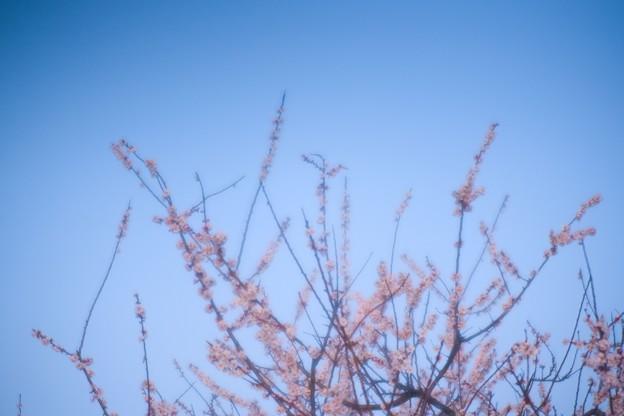 Photos: 梅枝