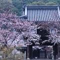雨桜 竹原1