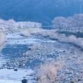 Photos: 美波羅川の桜並木
