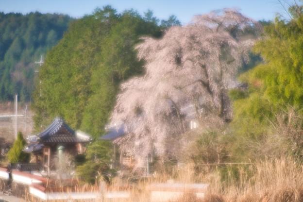 円流寺の枝垂桜