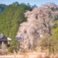 Photos: 円流寺の枝垂桜