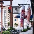 Photos: 緋鯉