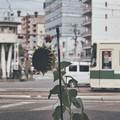 Photos: ひまわりの交差点